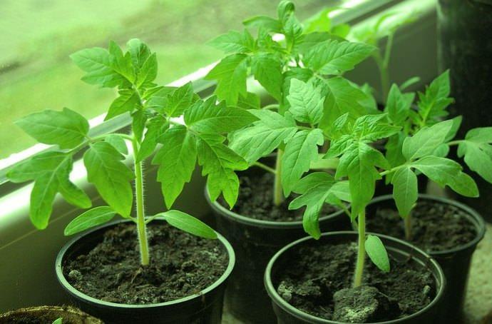 Чтобы томатная рассада не вытягивалась, после появления массовых всходов рассадные ящики следует установить на хорошо освещаемое место