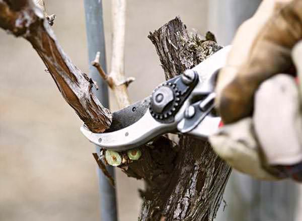Выполняя обрезку винограда необходимо следовать некоторым правилам