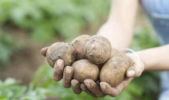 Чтобы собрать картофель, достаточно аккуратно убрать солому с грядок, и собирать чистые клубни