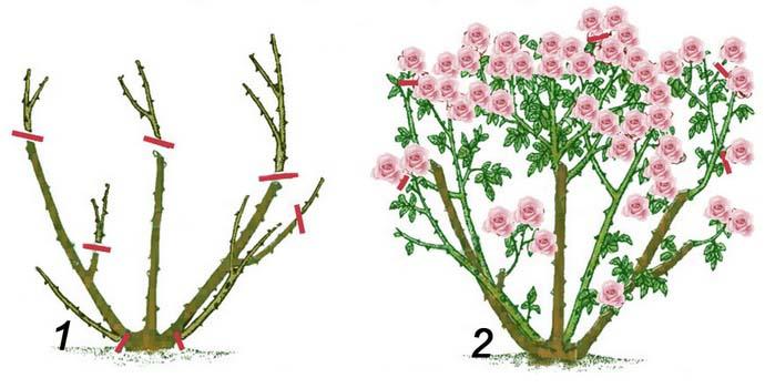 С целью формирования пышного и полноценно цветущего куста требуется осуществлять регулярное удаление всех поврежденных и больных ветвей