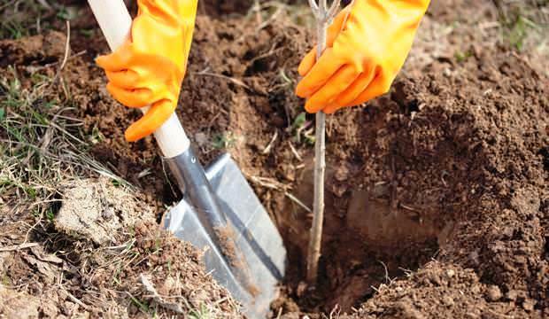 Правильная и своевременная весенняя пересадка облепихи является гарантией максимально быстрой приживаемости растений на новом месте