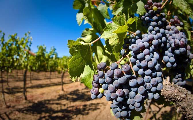 Плодам винограда с темной окраской требуется больше солнечных лучей