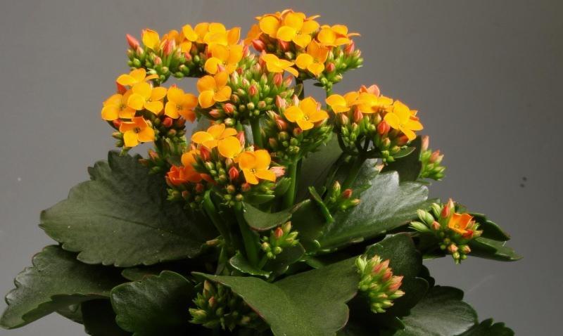 Цветущий каланхоэ никогда не выживет в условиях с высокой влажностью воздуха