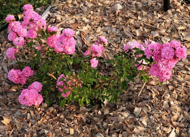 Чтобы минимизировать необходимость проводить оросительные мероприятия и прополки, целесообразно использовать метод мульчирования грунта вокруг розовых кустов