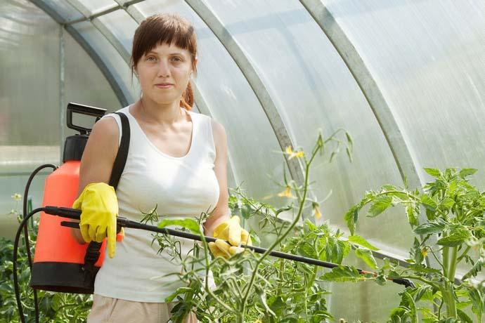 Использование Фитоспорина для обработки томатов вполне себя оправдывает и позволяет не только защитить огородную культуру, но и повышает ее иммунитет