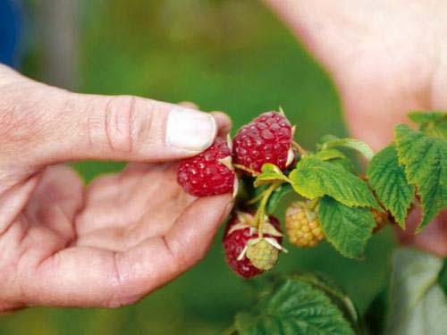 Выращивание малины начинается с правильного выбора сорта