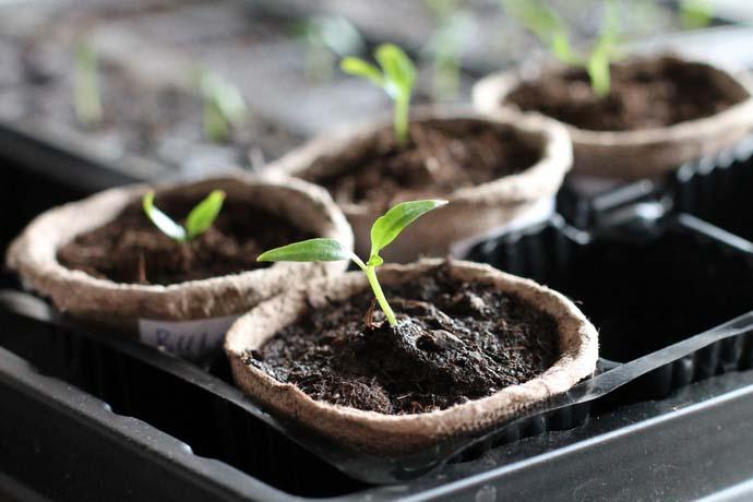 Перцы достаточно тяжело переносят пересадку и пикирование, поэтому семена рекомендуется высевать в отдельные посадочные емкости
