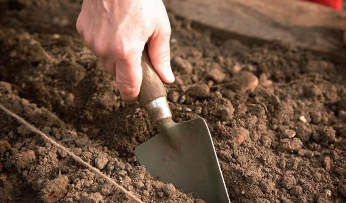 Высаживание клубники может производиться посевом семенного материала на гряды в открытый грунт