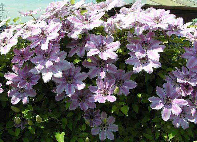 Осенняя посадка требует наличия на растении развитых вегетативных почек