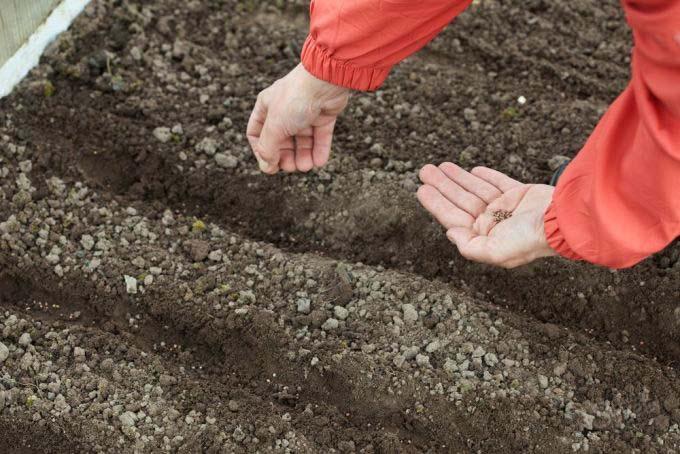 Раскладывать семена редиса следует с оптимальным расстоянием между растениями – не менее 5 см