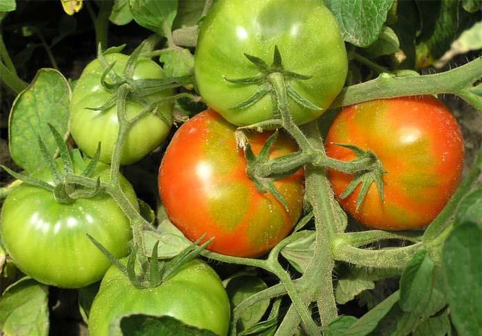 Еще один секрет сосредоточения сил растения на созревании плодов заключается в ограничении движения органических веществ из ствола в корни