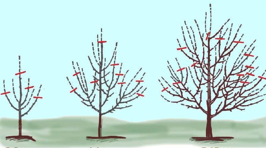 Формирующая обрезка способствует корректировке кроны дерева, и помогает улучшить её плотность, благодаря чему повышается устойчивость к погодным факторам и нагрузке урожаем