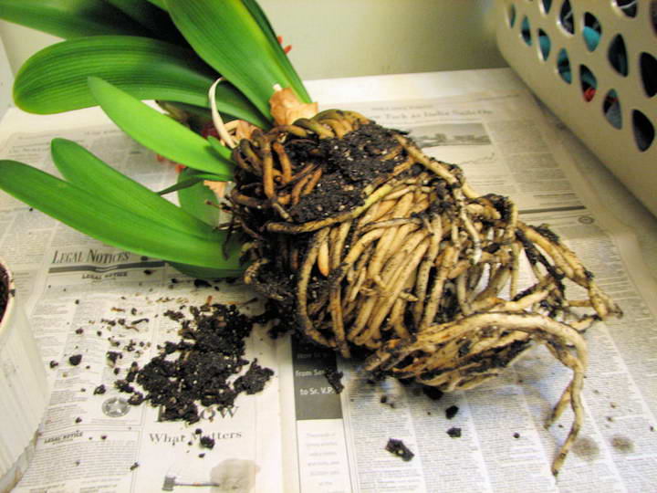Пересадка кливии осуществляется только если цветочный горшок стал тесным и вызывает оголение корневой системы