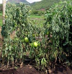 Фузариоз приносит наибольший вред овощным монокультурам