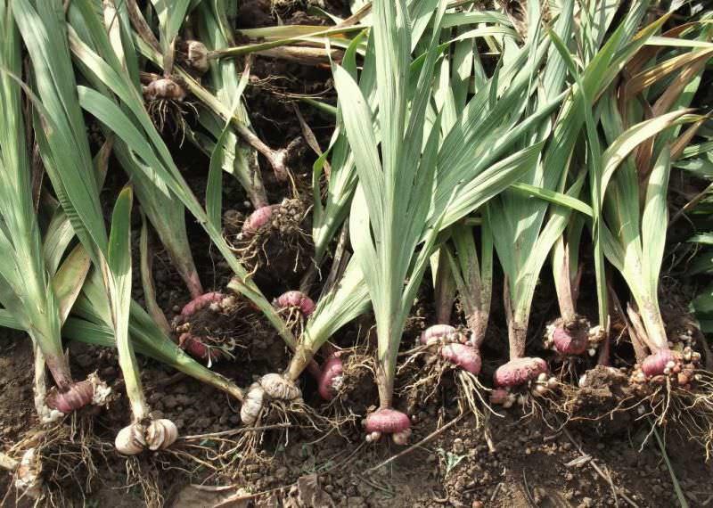 Влажная холодная почва тоже губительна для данных растений, которые у россиян традиционно ассоциируются с первым сентября
