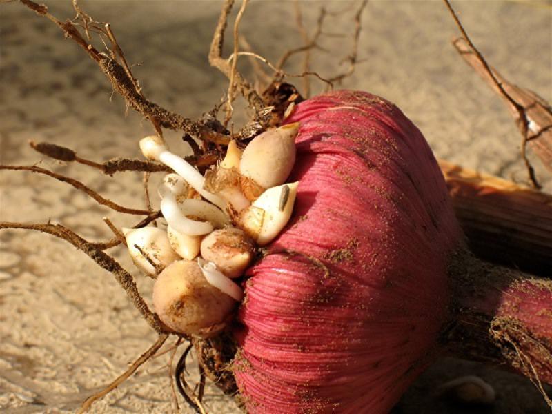 Традиционно лучшим временем, чтобы осуществить выкапывание луковиц гладиолусов, считается осень