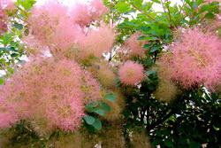 скумпия — растение для вашего сада