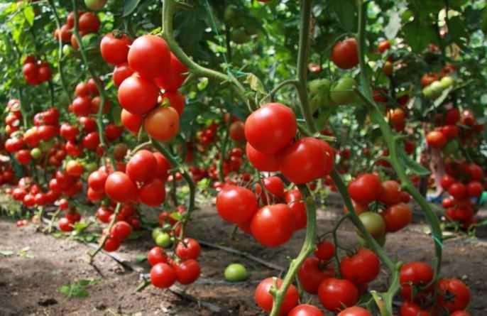 Теплица «Дачная-Двушка» предназначается для создания оптимальных микроклиматических условий, способствующих наиболее благоприятному и качественному выращиванию огородных культур