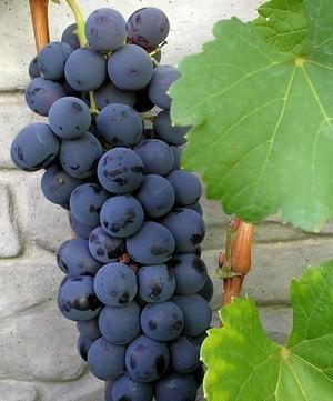 Одним из видов винограда, полюбившихся дачникам, является сорт Шахтер