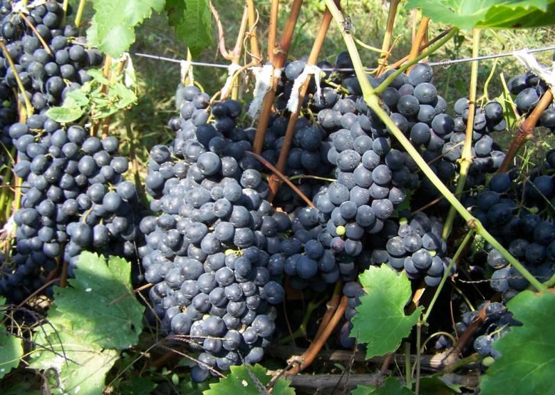 Грозди этого винограда крупные, в среднем каждая гроздь весит около 700 г.