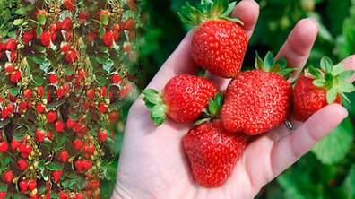 Благодаря особенностям выращивания клубника вьющаяся дает возможность дачникам реализовать грандиозные замыслы по суперурожайности
