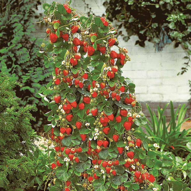 Благодаря тому, что растение растет не вширь, а ввысь, с небольшой площади можно получить урожай, в несколько раз превосходящий стандартные методы культивирования