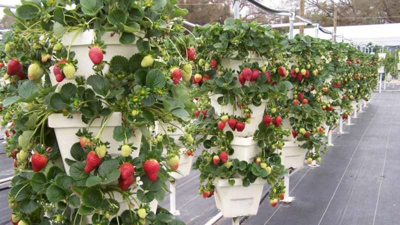 Сорта, активно дающие усы, образуют розетки, начинающие вскоре давать урожай, и если их пускать не по земле, а укоренять вдоль вертикальной опоры, то создается ощущение, что растение вьется