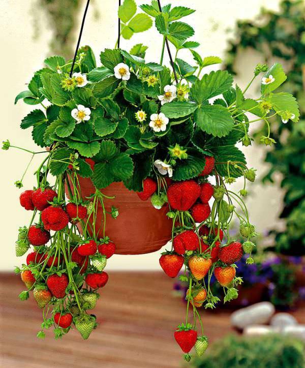 Особенности выращивания вьющихся форм растения заключаются в том, что растения расползаются своими детками не по горизонтальной поверхности грядки, а по вертикальной или наклонной
