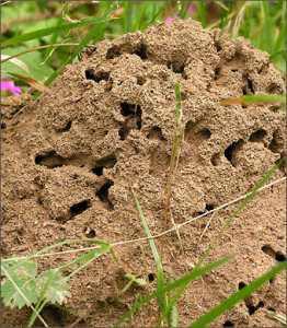 Для того чтобы на участке не было муравьев и тли преградите насекомым дорогу к дереву