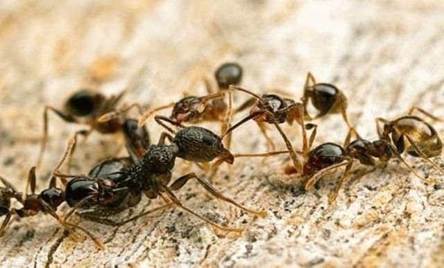 Хуже всего, если муравьи обосновались не только на участке, но и внутри бревен дома, так они могут превратить постройку в труху