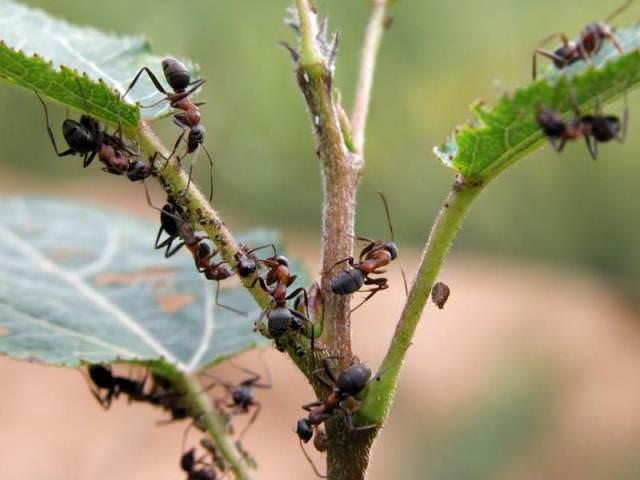 Трудолюбивые насекомые постоянно перемещаются – из парника в сарай, из сарая на грядку и так до бесконечности. Применение химикатов опасно, ведь они могут повредить урожай