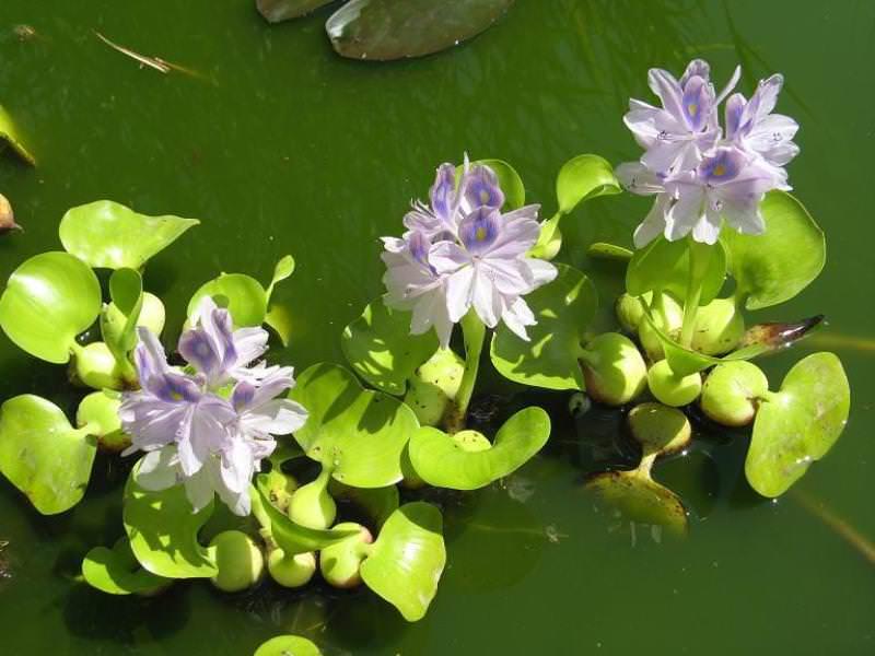 Научное название этого растения — эйхорния отличная, или Eichhornia crassipes
