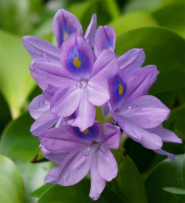 Водный гиацинт — это растение, обладающее не только эстетической привлекательностью, но и рядом других интересных свойств
