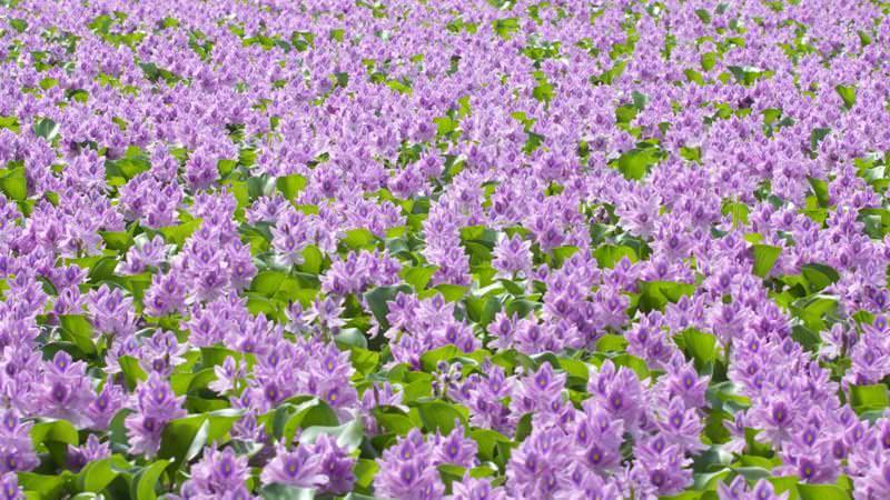 Это растение идеально приспособлено к жизни в мелких стоячих водоемах