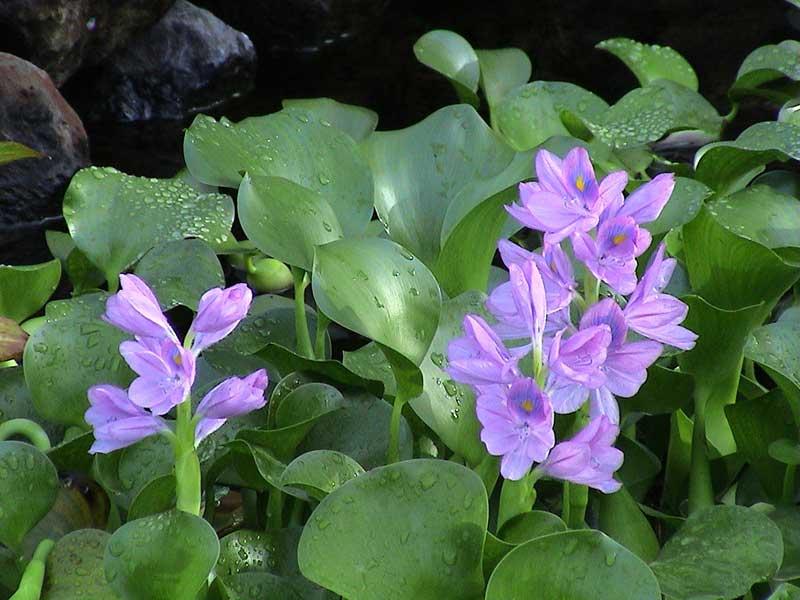 Над водой находятся листья и цветы, под водой — корни, длина которых достигает полуметра