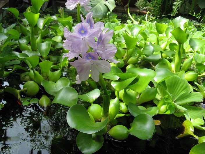 Цветет эйхорния розовыми, голубыми или фиолетовыми цветами с темно-синими пятнами