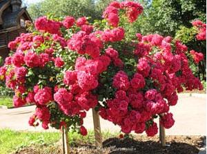 На второй год жизни растения укрывают стандартно, но утепляют основание куста при помощи листа. С третьего года жизни роз их укрывают как обычно