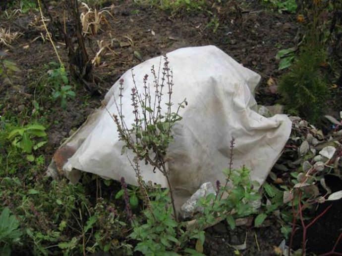 Важно не только правильно укрыть растения, но и вовремя снять защиту