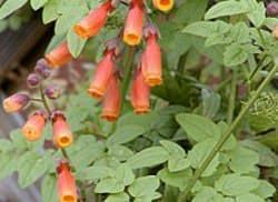 Вислоплодник шероховатый или эккремокарпус – быстрорастущая многолетняя лиана с красивыми трубчатыми цветами