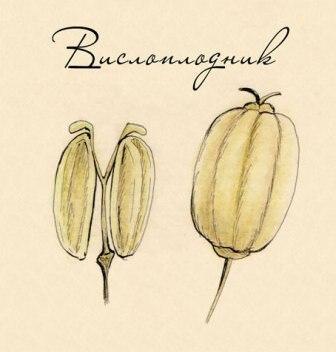 ECCREMOCARPUS – латинское название вислоплодника, в род входят 4 вида, относится к семейству Бигнониевых