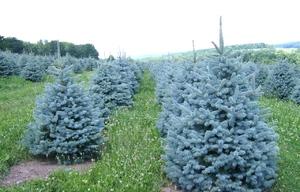 Как вырастить голубую ель в саду
