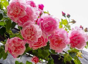 Как вырастить красивые розы