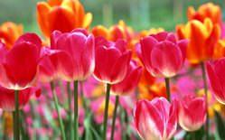 Тюльпаны являются цветами удивительной красоты