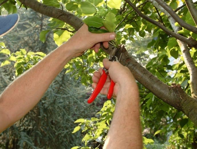 Садовые культуры необходимо обрезать для снижения риска поражения болезнетворными микроорганизмами и растительными паразитами