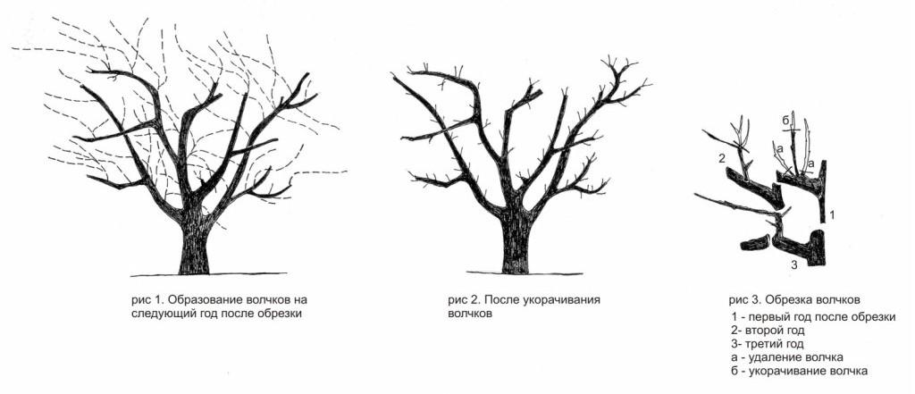 Омолаживающая весенняя или осенняя обрезка стимулирует обновление ветвей благодаря ростовым процессам в новых побегах и пробуждает придаточные спящие почки