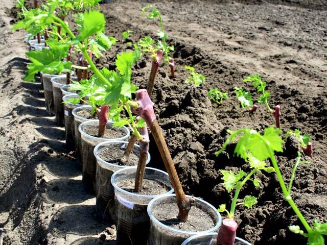 Многие начинающие садоводы и опытные виноградари отдают предпочтение саженцам с закрытой корневой системой