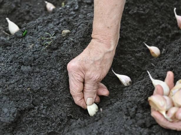 Поместить зубчики чеснока можно туда, где до этого произрастали огурцы, помидоры, тыква, перцы или кабачки