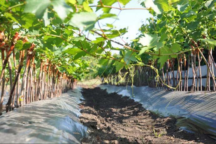 Участки, приготовленные для выращивания винограда, должны быть открытыми на юг или юго-запад
