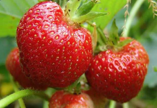 Сорт для открытого грунта «Заря» – раннеспелый, очень урожайный и густолиственный, отлично адаптированный к зиме и морозам