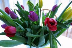 Многие цветоводы сажают и выращивают тюльпаны в домашних условиях зимой